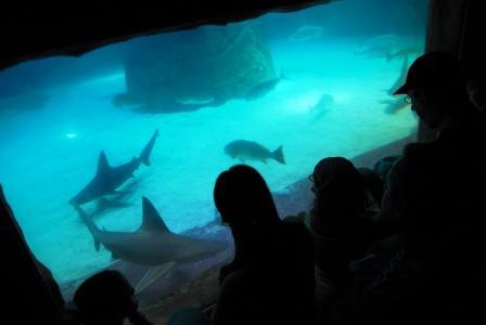 כרישים באילת